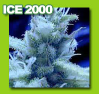 ice cannabis