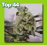 top44 cannabis