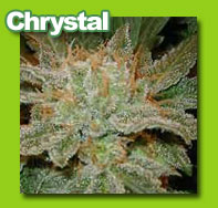 Chrystal cannabis