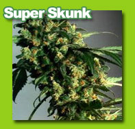 super skunk cannabis