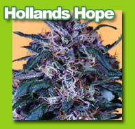 hollandshope cannabis