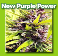 New-Purple-Power cannabis