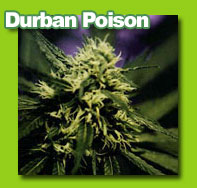 durbanpoison cannabis
