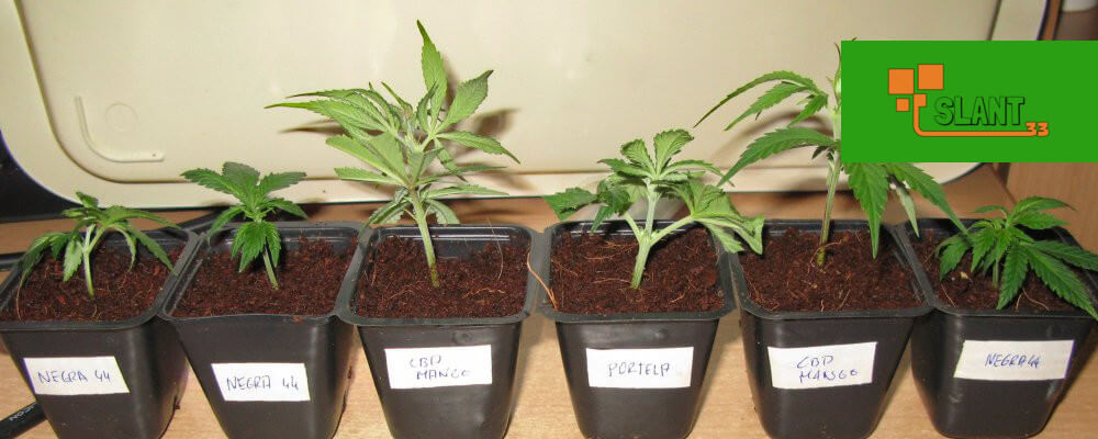 How to Transplant Your Marijuana Plant