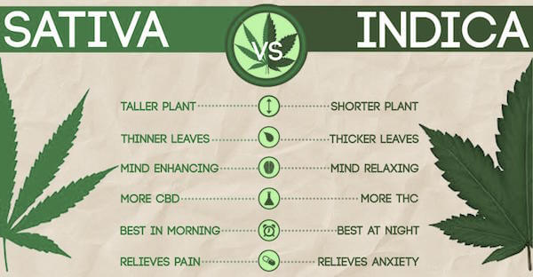 Medical-Marijuana-Sativa-vs-Indica