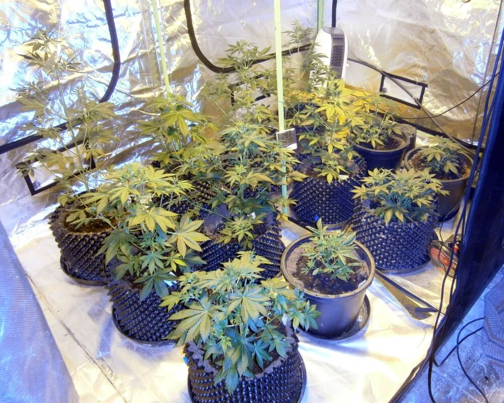 The flowering stage of your cannabis plant