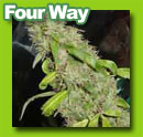 four_way_cannabis