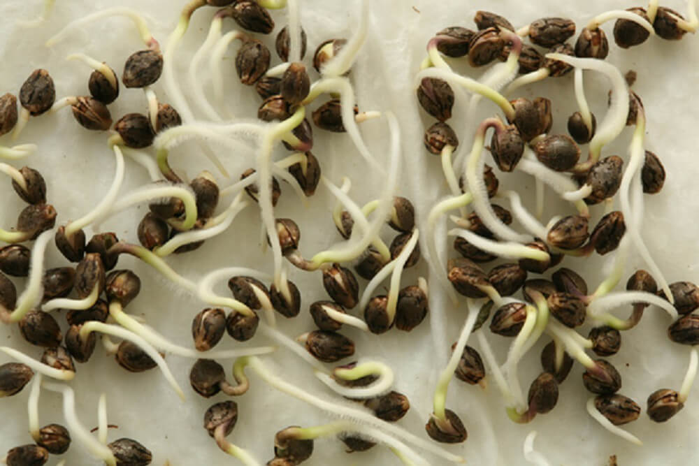 germinating cannabis seeds with paper towel