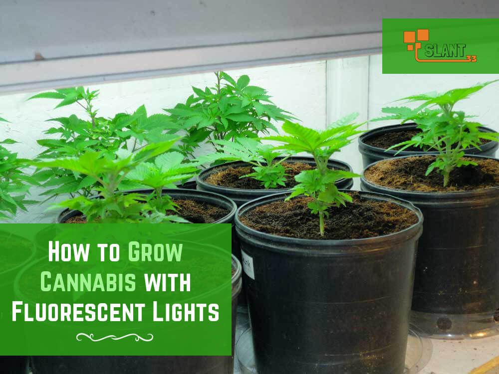 grow marijuana indoors using fluorescent lights