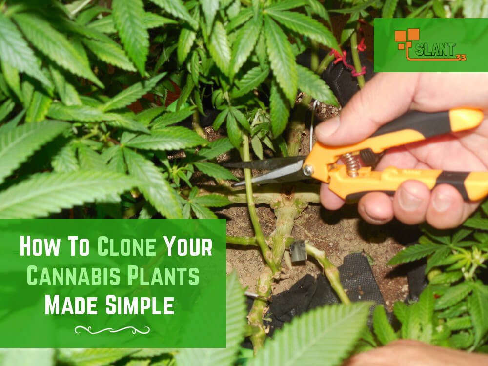 how-to-clone-your-marijuana-plants
