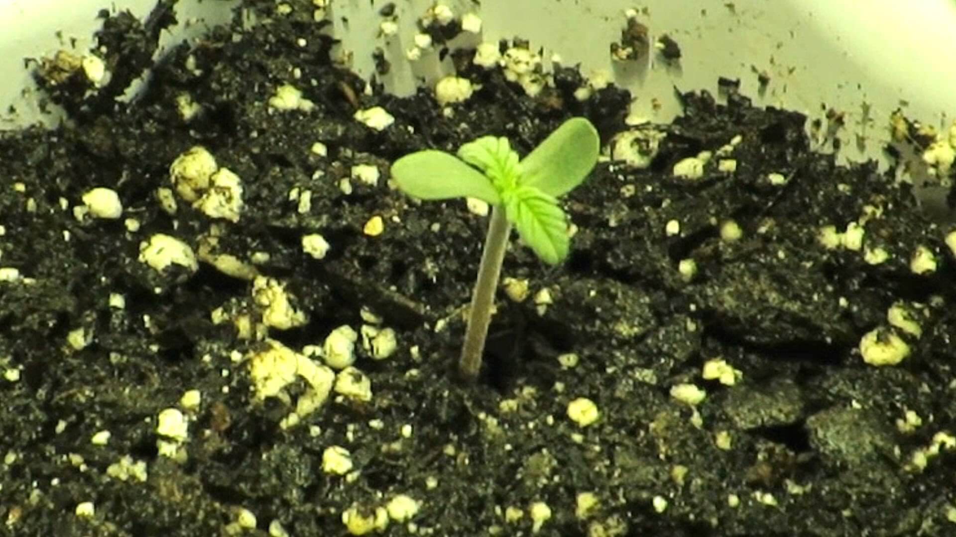 how to grow cannabis seeds