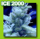 ice_2000_cannabis