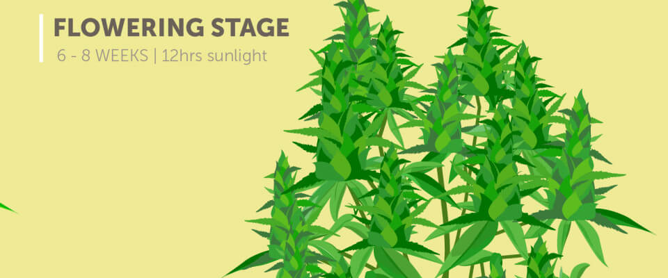 look for cannabis flowering stage