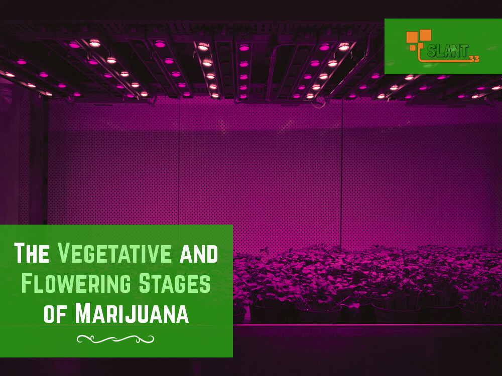 vegetative and flowering stages of cannabis