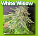 white_widow_cannabis